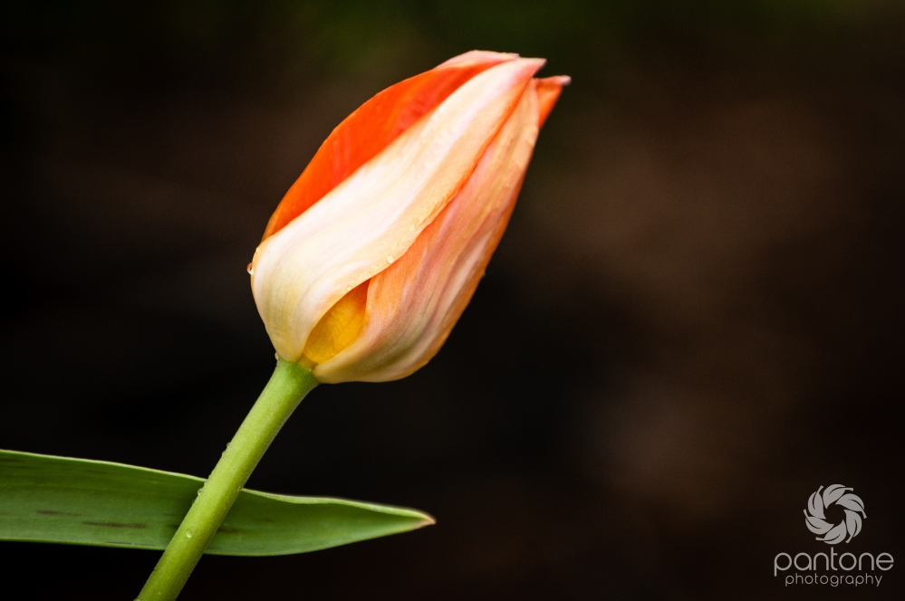 April 10, 2013_Spring tulip