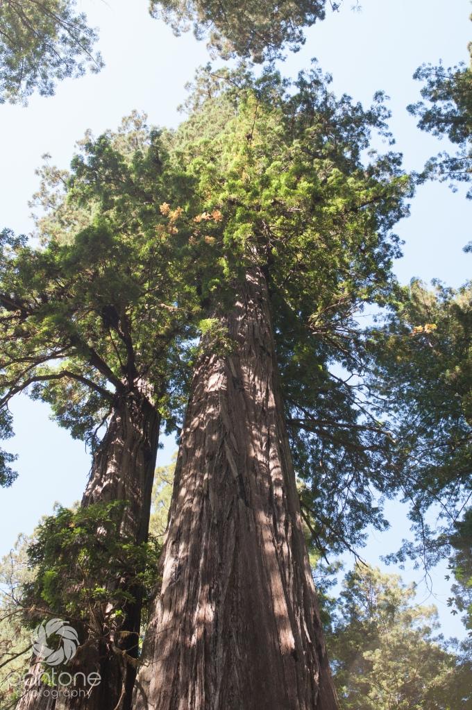 July 27, 2014_Redwoods