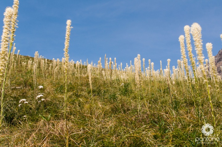 Bear grass flowers