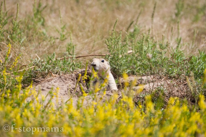 Prairie dogs - Devils Tower