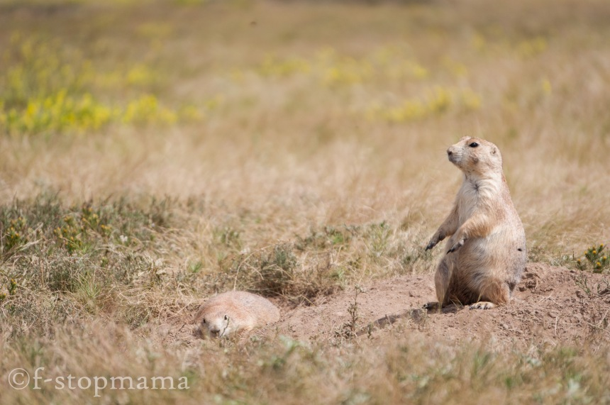 Prairie dogs - Devils Tower