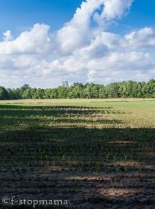 Indiana corn