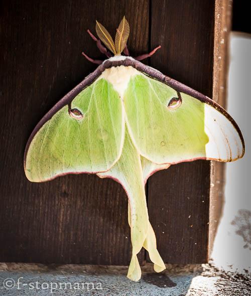 Canadian moth