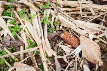 Corn husks & cob after harvest