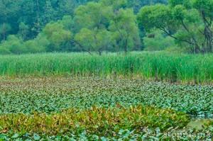 Green marshland
