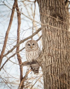 Barred Owl-1