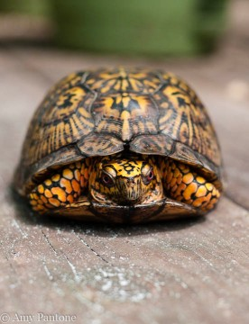 Box Turtle-1