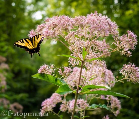 Butterflies-2