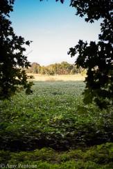 Soybean field in fall